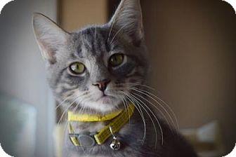 Domestic Shorthair Kitten for adoption in Wichita, Kansas - Chein Po
