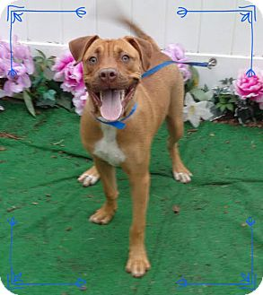 Rhodesian Ridgeback Mix Dog for adoption in Marietta, Georgia - RORY-see video