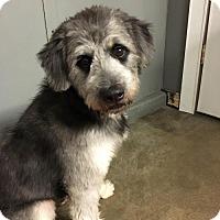 Adopt A Pet :: 'OLIANG' - Agoura Hills, CA