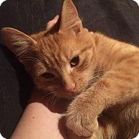 Adopt A Pet :: Ollie - Toronto, ON