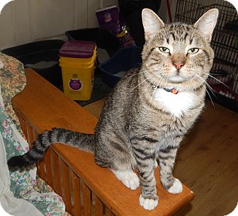 Domestic Shorthair Cat for adoption in Plano, Texas - TOASTER - AMAZING CAT & STORY!