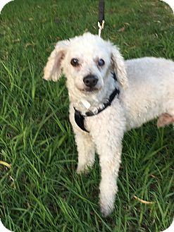 Poodle (Miniature) Dog for adoption in Carlsbad, California - Spencer