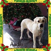 Adopt A Pet :: MINI LAB- Adult - Genoa City, WI