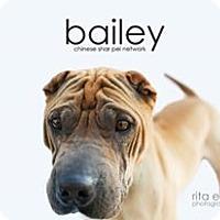 Shar Pei Dog for adoption in Mira Loma, California - Bailey