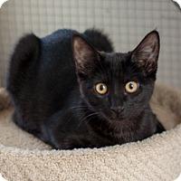 Adopt A Pet :: Lynx - Prescott, AZ