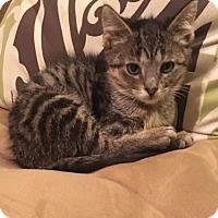 Adopt A Pet :: Ivy C1585 - Shakopee, MN