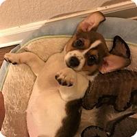 Adopt A Pet :: Twinkle - Austin, TX