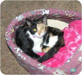 Calico Cat for adoption in Cocoa, Florida - Sushi