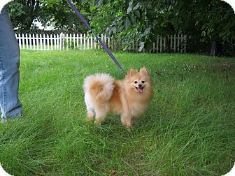 Pomeranian Dog for adoption in Weare, New Hampshire - Jack