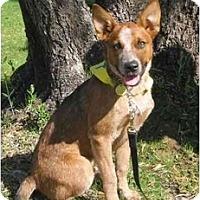 Adopt A Pet :: Nitro - Phoenix, AZ