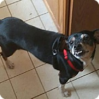 Rat Terrier Mix Dog for adoption in Albemarle, North Carolina - Tonya