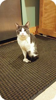 Domestic Shorthair Cat for adoption in New York, New York - Kappa