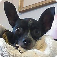 Adopt A Pet :: Babyq - st peters, MO