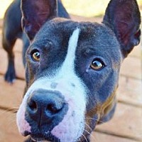 Pit Bull Terrier Mix Dog for adoption in Dallas, Georgia - Cora - Courtesy Post