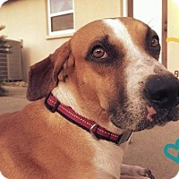 Adopt A Pet :: Chase - Gainesville, FL
