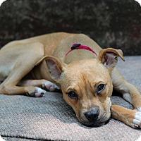 Adopt A Pet :: Sadie / Hiccup - Mount Laurel, NJ
