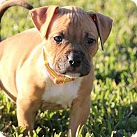 Adopt A Pet :: Belle - Ft. Myers, FL
