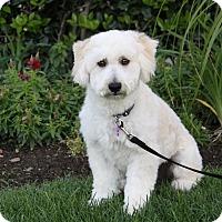 Adopt A Pet :: LUCAS - Newport Beach, CA