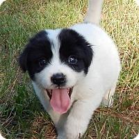 Adopt A Pet :: Dakota - Bozrah, CT
