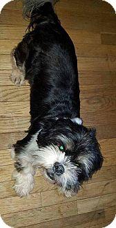Shih Tzu Dog for adoption in Dayton, Ohio - Ewok
