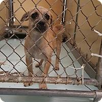 Adopt A Pet :: Belle - Brownsville, TX
