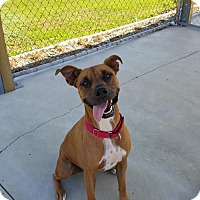 Boxer Mix Dog for adoption in Knoxville, Iowa - Squeeks