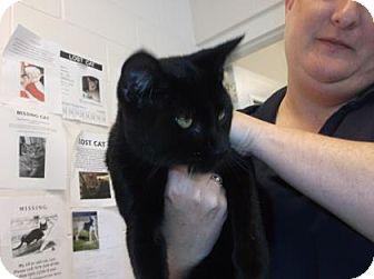 Domestic Shorthair Cat for adoption in Gloucester, Virginia - GRIM-REAPURR