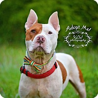 Staffordshire Bull Terrier Dog for adoption in Fort Valley, Georgia - Zach