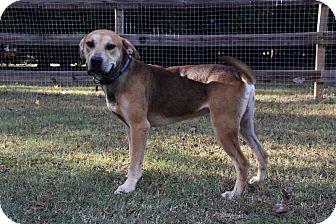 Shepherd (Unknown Type)/Hound (Unknown Type) Mix Dog for adoption in Charlotte, North Carolina - PJ