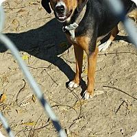 Adopt A Pet :: Rosie - Portland, IN