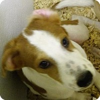Whippet Mix Puppy for adoption in Cherry Hill, New Jersey - Tucker