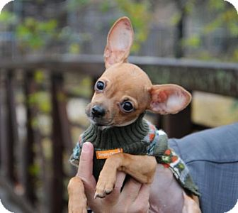 Chihuahua Puppy for adoption in McKinney, Texas - Sandy