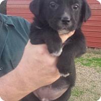 Adopt A Pet :: Caleb - Trenton, NJ