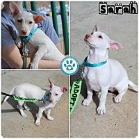 Adopt A Pet :: Sarah - Kimberton, PA
