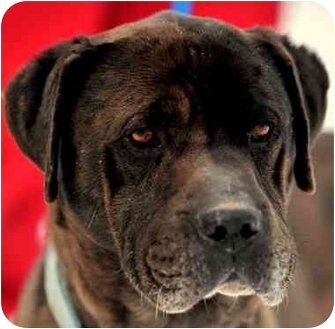 Bullmastiff/Labrador Retriever Mix Dog for adoption in Pawling, New ...