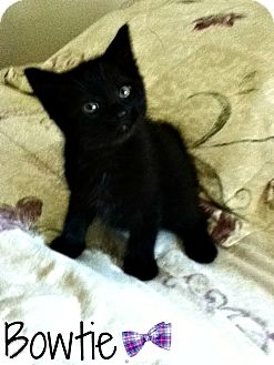 Domestic Shorthair Kitten for adoption in Geneseo, Illinois - Bowtie