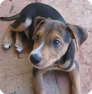 Beagle/Miniature Pinscher Mix Puppy for adoption in Phoenix, Arizona - Basil