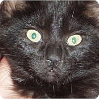 Adopt A Pet :: Kitten (black) - Westfield, MA