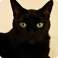 Domestic Shorthair Cat for adoption in Westbury, New York - Sheba