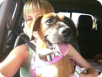 Boxer/German Shepherd Dog Mix Puppy for adoption in Hedgesville, West Virginia - Ariel