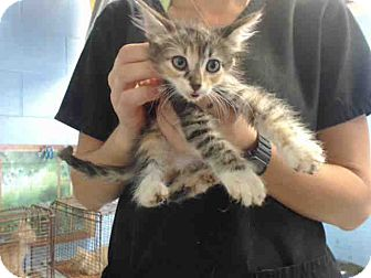 Domestic Shorthair Kitten for adoption in San Bernardino, California - URGENT on 9/20 San Bernardino