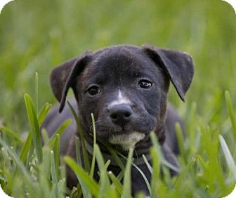 Black Mouth Cur Mix Puppy for adoption in Lithia, Florida - Mia pup Havoc - 16