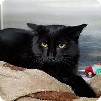 Adopt A Pet :: Bat Cat - Elyria, OH