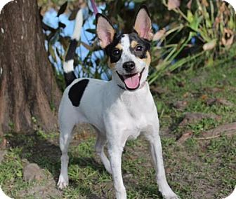 Jack Russell Terrier/Rat Terrier Mix Dog for adoption in Columbia, Tennessee - Pickles/MS