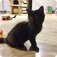 Adopt A Pet :: Julius Caesar - Franklin, TN