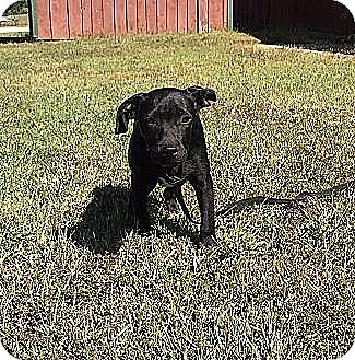 Labrador Retriever/Border Collie Mix Dog for adoption in Windham, New Hampshire - Bitsey