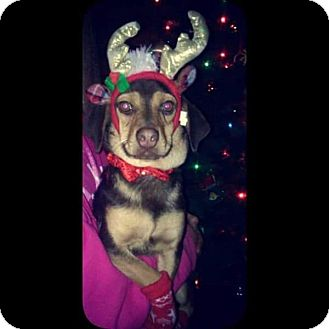 Miniature Pinscher/Dachshund Mix Dog for adoption in Old Bridge, New Jersey - Brody