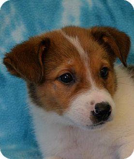 Labrador Retriever/Border Collie Mix Dog for adoption in Eureka, California - Sarai