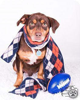 Basset Hound/Labrador Retriever Mix Dog for adoption in Colorado Springs, Colorado - Twix