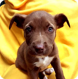 Labrador Retriever/Terrier (Unknown Type, Medium) Mix Puppy for adoption in Detroit, Michigan - Caramello-Adopted!